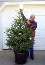 Fraser Christmas Tree Care by Enjoy A Living Christmas Tree For Years To Come Msu Extension