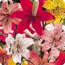 g new tiger lilies mill bulbs