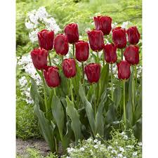 shop garden state bulb 50 pack impression tulip bulbs l03057