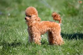 Big Dogs That Dont Shed Badly by Miniature Poodle Dog Breed Information Buying Advice Photos And