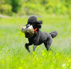 Best Hunting Dogs That Dont Shed by Fast Pup Dog Training Owning Hunting Poodle Not For Faint Of Heart
