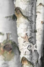 Three Birch Trees In Close Up Decorated With Wooden Stars Advent