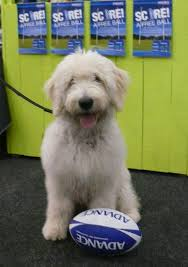 Low Shedding Big Dogs by Spoodle And Cavoodle Breeders Hallmark Kennels
