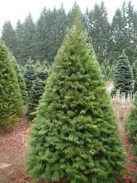 Nordmann Fir Christmas Tree by Real Christmas Trees Home Is Where The Heart Is