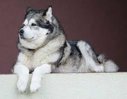 alaskan malamute vs siberian husky the important similarities and