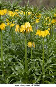 fritillaria imperialis bulbs stock photos fritillaria imperialis
