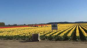 2014 skagit valley tulip festival flower tour in mount vernon wa