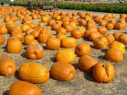 Half Moon Bay Pumpkin Patches 2015 by Heed The Call Of The Pumpkin At These Great Bay Area Pumpkin Farms
