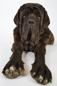 Non Shed Dog Breeds Large by The 25 Best Largest Dog Ideas On Pinterest Largest Mastiff