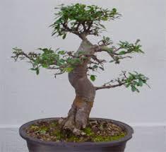 pot bonsai grande taille l entretien des bonsai conseils sur les bonsai bonsai