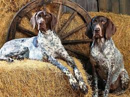 Do Bluetick Coonhounds Shed by Bluetick Coonhound Dog Breed Standards