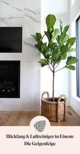 geigenfeigenbaum geigenfeige coole zimmerpflanzen