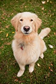 10 Dog Breeds That Shed The Most by Golden Retriever Dog Breed Information Pictures Characteristics
