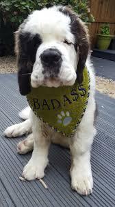 Do Smooth Coat St Bernards Shed by St Bernard Drool Bib Saints Pinterest Saints Dog And Saint
