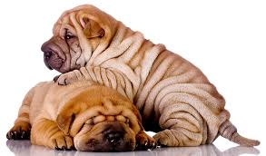 Do Shar Peis Shed A Lot by A Complete Guide To The Shar Pei Dog Breed