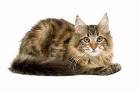 Pumpkin For Pets Diarrhea by Diet Recommendations For Cats With Diarrhea U0026 Parasites Pets