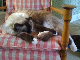 Ragdoll Cat On Rocking Chair | You Can Learn More About Caym ...