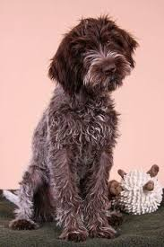 Griffon German Wirehaired Pointer Shedding by Pin By Sandra Raichle On Tiere Pinterest Dog Pointers And Animal