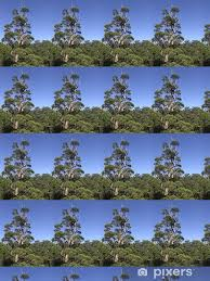tapete riesen eukalyptus baum