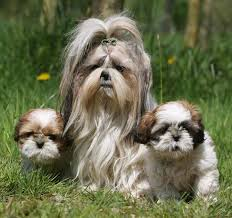 Protective Dog Breeds That Dont Shed by Hypoallergenic Dog Breeds Dogs That Don U0027t Shed K9 Research Lab