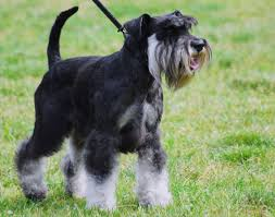 Do Giant Schnauzer Dogs Shed Hair by Miniature Schnauzer Our Dogs And Us