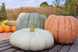 What Kinds Of Pumpkins Are Edible by Over 15 Varieties Of Pumpkins For Sale In 2017 At Abbey Farms