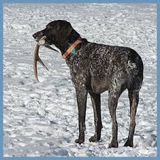 German Shorthaired Pointer Shed Hunter by My Maine Backyard Treasures Shed Antler White Tailed Deer