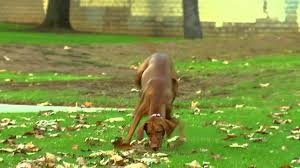 Do Vizsla Dogs Shed by The Vizsla Healthy Pet Best Of Breeds Youtube