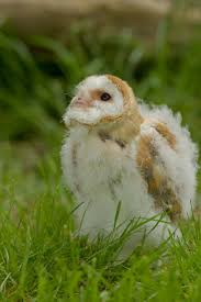 111 Best Barn Owls Images On Pinterest | Barn Owls, Animal ... Barn Owls On Oak Beam Uk Bird Small Mammal Taxidermist Mike Gadd Owl Family Clipart Night Owl Pencil And In Color Barn Baby By Disneyqueen1 Deviantart All Things Things You Always Wanted To Know About Keeping As Pets Portrait Of A During Falconry Traing Dubai Uae The Centre Staffvolunteers Gallery My Maltese Falcon A Day Falconry Speck The Globe 130109 130110 Wildlife Center Virginia Lydias Video Youtube