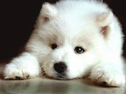 Hypoallergenic Shed Free Dogs by Dander Free Dog Breeds Maconbourgogne
