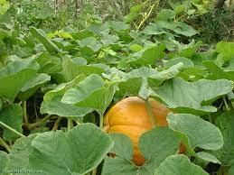 Walden Farm Pumpkin Patch Smyrna Tn by Pumpkin Patch Tn Thrill Media