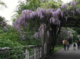 planting wisteria in a pot plant of the week wisteria gardenista