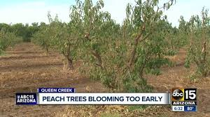 Schnepf Farms Halloween 2017 by Schnepf Farms Owner Concerned That Dry Temps Will Impact Peach
