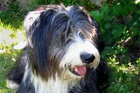 Excessive Hair Shedding In Dogs adenitis in dogs symptoms causes diagnosis treatment