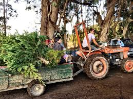 Best Christmas Tree Farms Santa Cruz by Things To Do Near Big Basin Redwoods State Park With Kids Santa