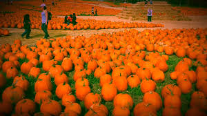 Half Moon Bay Pumpkin Patch Yelp by Cal Poly Pumpkin Festival 2015 Youtube