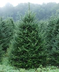 Frasier Christmas Tree Cutting by Fraser Fir Cut Mattern U0027s Pine Ridge Nursery Tree Farm