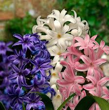 planting bulbs hyacinth with
