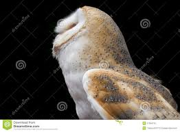 Barn Owl Looking Up Against A Black Background Stock Image - Image ... Black Barn Owl Oc Eclipse By Pkhound On Deviantart Closeup Of A Stock Photo 513118776 Istock Birds Of The World Owls This Galapagos Barn Owl Lives With Its Mate A Shelf In The Started Black Paper Today Ref Paul Isolated On Night Stock Photo 296043887 Shutterstock Stu232 Flickr Bird 6961704 Moonlit Buttercups Moth Necklace Background Image 57132270 Sd Falconry Mod Eye Moody