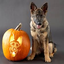 Boston Terrier Pumpkin Pattern by So Cute Pumpkin Decorating Ideas Pumpkin Carvings Dog Breeds