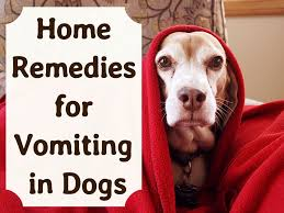 Pumpkin Gave Dog Diarrhea by Effective Home Remedies For Vomiting Dogs Pethelpful