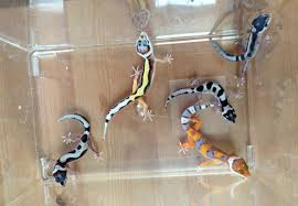 Crested Gecko Shed Box by What U0027s Going On With My New Leopard Gecko Gecko Time Gecko Time