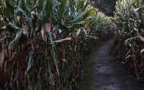 Meadowbrook Pumpkin Farm Creepy Cornfield by Stunning Corn Maze Halloween Contemporary Gamerunner Us
