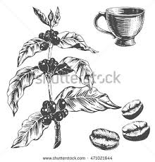 Coffee Plant Beans And Cup Isolated On White