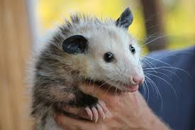 Opossum Removal - Wildlife Removal Services Of South Florida All About Opossums Wildlife Rescue And Rehabilitation Easy Ways To Get Rid Of Possums Wikihow Animals Articles Gardening Know How 4 Deter From Your Garden Possum Hashtag On Twitter Removal Living In Sydney Opossum Removal Services South Florida Nebraska Rehab Inc Help Nuisance Repel Gel Barrier Sealant For Squirrels And Raccoons To Of Terminix