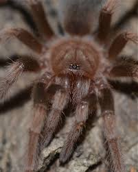 Do Tarantulas Shed Their Fangs by Spider Things Biological Page 8