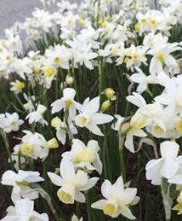 engelen wholesale flower bulbs tulips narcissi