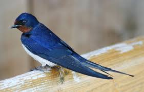 Blue Barn Swallow | Wartosciowestrony.top Barn Swallow Sitting On A White In Sumrtime Stock Photo Swallow Watercolor Print 5x7 Bird Art David Scheirer Wooden By Limitlessendeavours On Deviantart Birding Is Fun The Beloved Character Concept Pilot Illustration Project Barn Barnstorming Swallows Make Their Return To New Hampshire Birds Of York Larks And Kinglets Cool Facts About Small With Forked Tails Hirundo Rustica Male Lake Washington Union Bay Seattle Usa Feather Tailed Stories