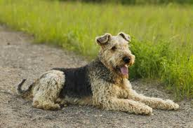 Do Airedale Puppies Shed by Most Popular Hypoallergenic Non Shedding Dog Breeds