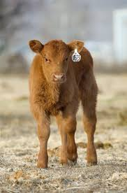 Red Angus Mom And Calf, Beef Cattle | Beef Cattle | Pinterest ... 1021cattle6ajpg Purple Reign Cattle Company Online Sale The Pulse February 2017 Texas Longhorn Trails Magazine By A Good Place To Be Cow At Fort Worth Stock Show Animals Are Commercial And Registered Ozarks Farm Neighbor Newspaper Cattlemen Opmistic About Resumed Beef Exports To China News Blog Lautner Farms Experience The Value Best Of Southwest Shootout Overall Market Burke Hidin In Sand Steer November 2015 Graham Livestock Auction Sanctioned Shows Ijbba Iowa Junior Beef Breeds Association